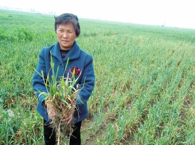 村民拔起一把麦苗,大部分麦穗已经枯死。本文图片 大河网