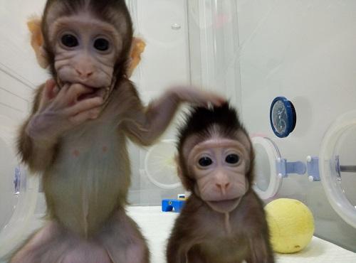 """资料图:克隆猴""""中中""""和""""华华""""在中科院神经科学研究所非人灵长类平台育婴室的恒温箱里。新华社发"""