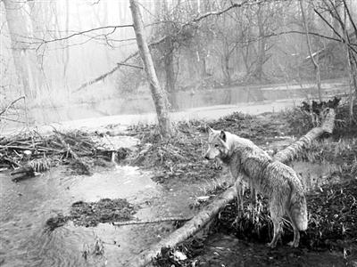 切尔诺贝利事故后,人类禁区成了动物领地,狼的数量是其他未受污染地区的7倍。