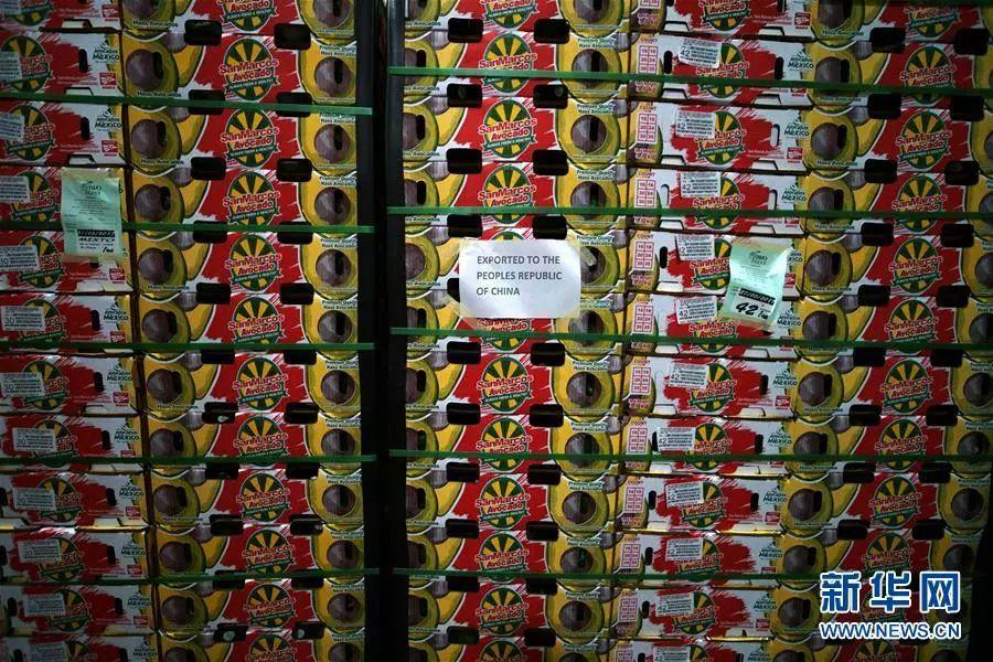 ▲在墨西哥米却肯州乌鲁阿潘市的一家牛油果装箱工厂,几百箱牛油果即将被运往中国。