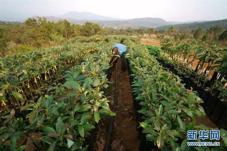 ▲一位农民在牛油果树苗旁劳作。