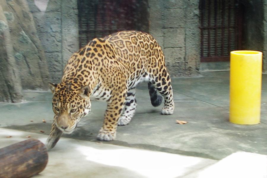 上海动物园美洲豹亮相日本:受游客欢迎 在日征名