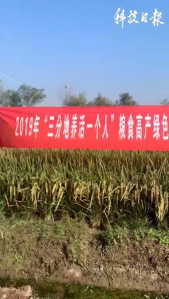 来,看看高抗倒水稻的弹性!超级杂交稻晚稻育种取得重大突破