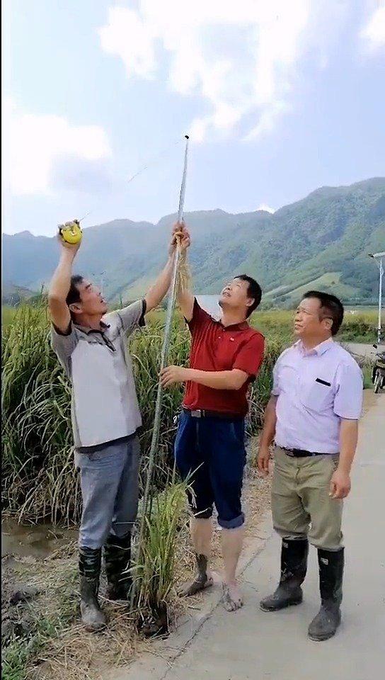 """巨型水稻""""身高""""不输姚明,袁隆平""""禾下乘凉""""不是梦!"""