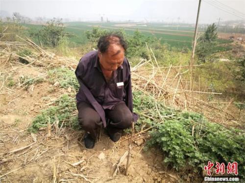 贾文其在荒山上种下500多棵香椿苗。李晓伟 摄