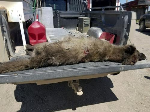 野生动物专家观察后,怀疑它是狼。图片来源:蒙大拿州鱼类、野生动物和公园管理局(FWP)