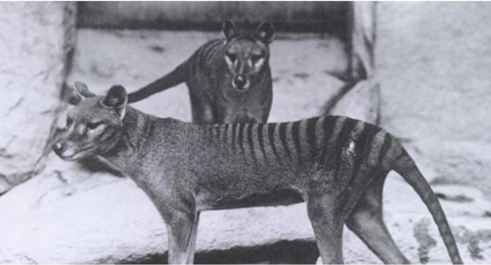 澳大利亚称发现绝种袋狼踪迹,这一次是真的吗?