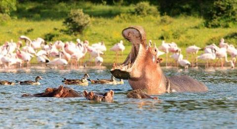 资料图:肯尼亚奈瓦沙湖的河马。(来源:联合新闻网)