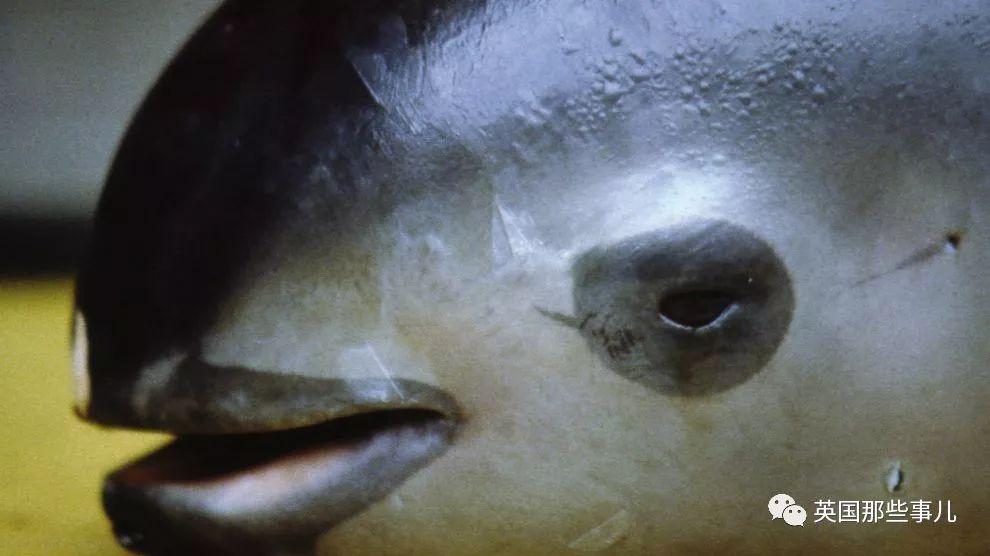 世界上最小最濒危的海豚。它没有鱼鳔,却可能要灭绝在一种鱼鳔上