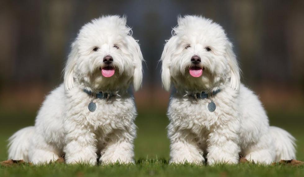 图2:史翠珊表示,她很难找到萨曼莎那样卷发的图利尔犬,这是她决定克隆其死去宠物的原因之一