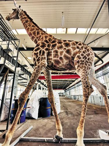 一只5米高长颈鹿做成四件塑化标本