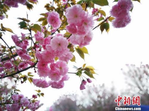 """日本赏樱经济陷危机 樱花树""""患病""""只能被砍"""