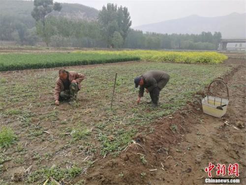 贾海霞和新搭档贾红旗正在培育杨树苗,计划明春再种上4000棵。李晓伟 摄