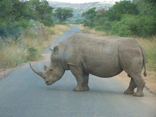 副食品代理偷猎变形玩具数字3变形视频者闯入南非自然保护区盗取犀牛角,三人落入狮口