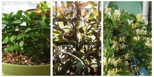 阳台三盆花,药费不用花!镇咳、润肺、抗病毒…人人能种!