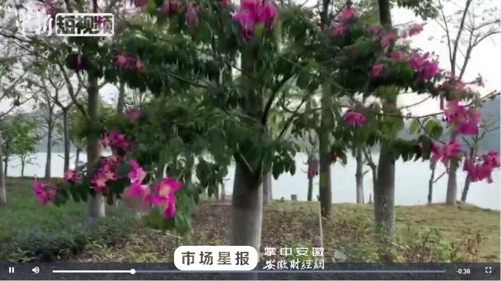 【美丽中国网络媒体生态文明行】邕江岸椰树成群 11月的南宁美如春
