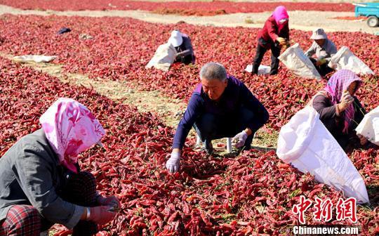 新疆和硕14万亩食用色素辣椒采收 成富民产业