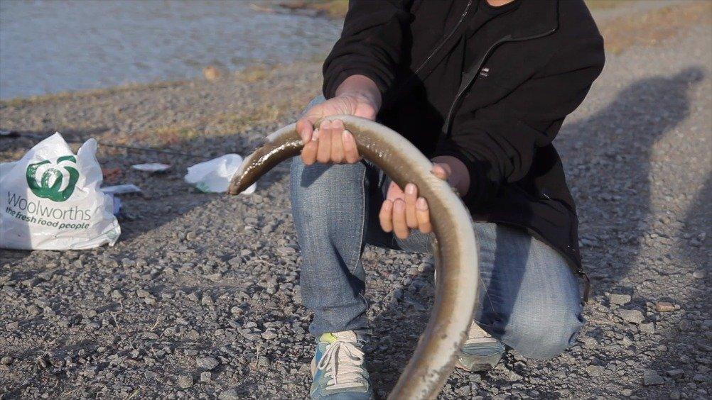 塔斯马尼亚的内陆湖区都有鳗鱼分布