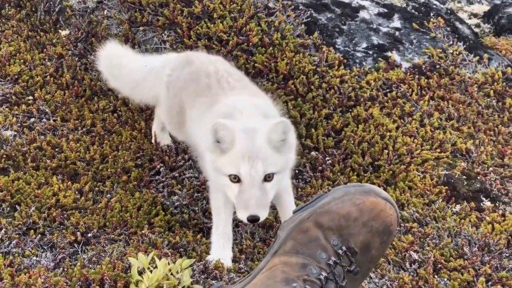 摄影师在格陵兰遇到一只可爱的北极狐,好有灵气。。