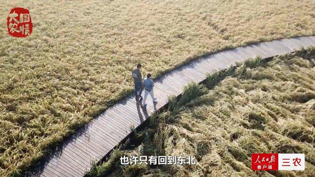 本期的大国农情我们来到了黑龙江五常乔府大院的鸭田稻