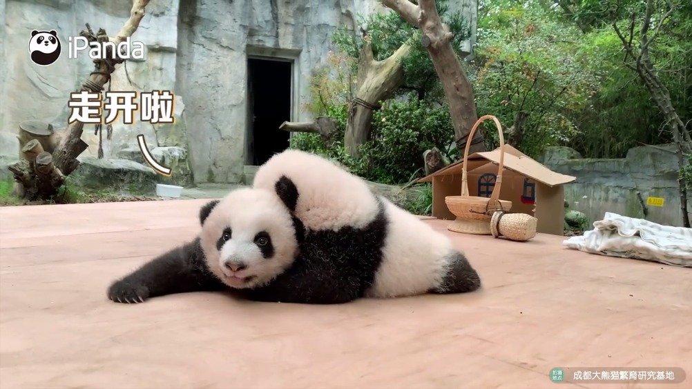 熊猫语十级的翻译家已上线既然你们都听懂了熊家的话