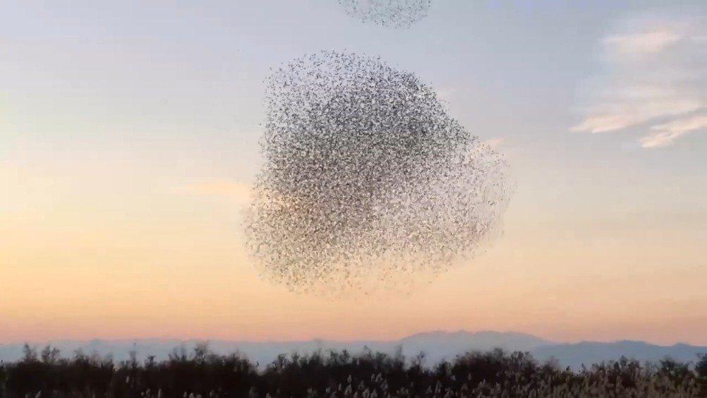 猎鹰反复冲进鸟群中想要抓到一只鸟。