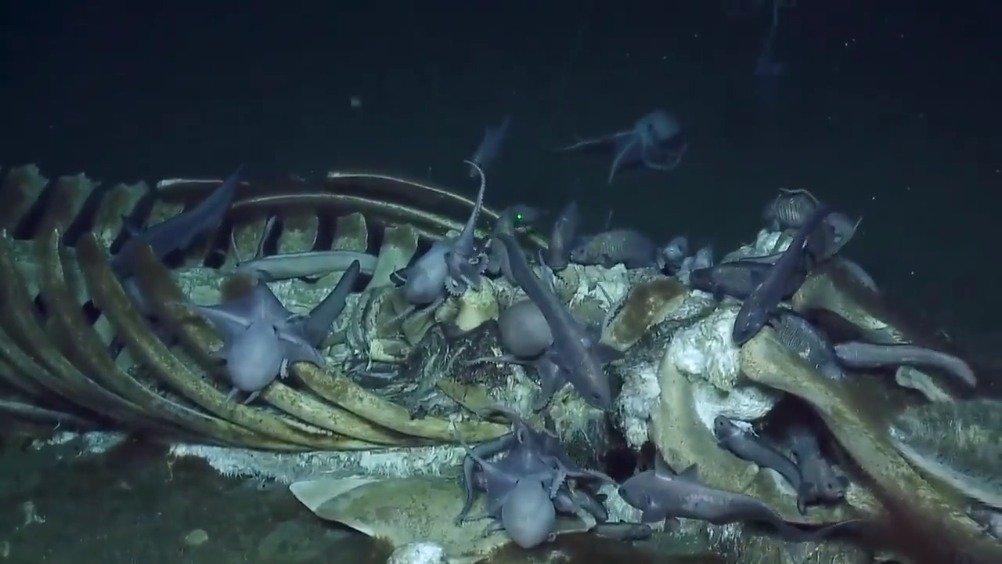 巨鲸落,万物生!美国戴维森海山附近3240米深的海底