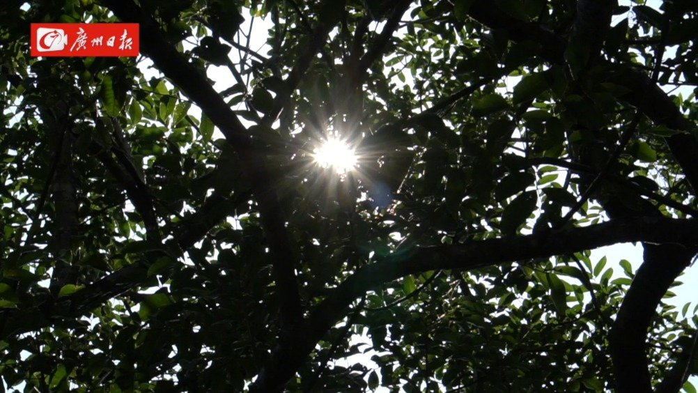 金秋十月,乌榄成熟。勤劳的信宜人上山采摘成熟的乌榄,制起了榄角