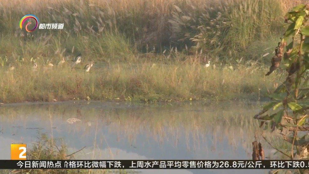 白首次现身元江湿地 猎食鱼虾享受阳光