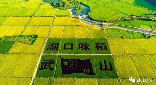 湖口:稻田秋景惹人醉
