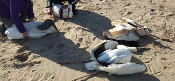 被发现的4只白鹤,其中2只已死亡 均为周海翔供图