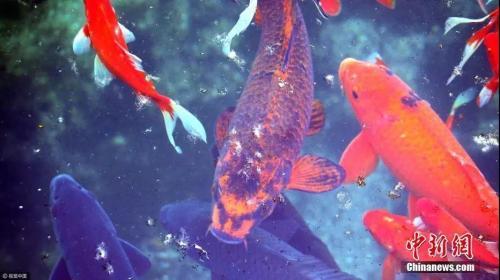 资料图:山东章丘某公园内的锦鲤。图片来源:视觉中国