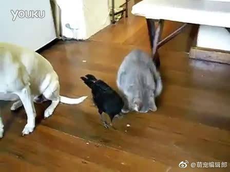 乌鸦给猫咪和狗狗喂饭吃
