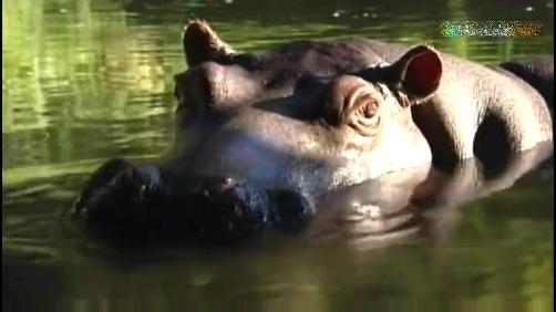 这家人收养一头河马做宠物,大胃比亲女儿还花钱看到盖被子那段,