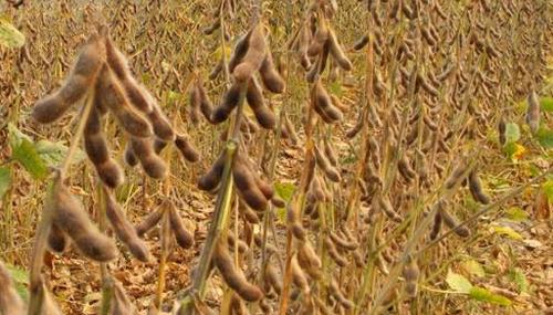 大豆和猪肉价格跌幅超10% 贸易战下美国农民叫苦不堪