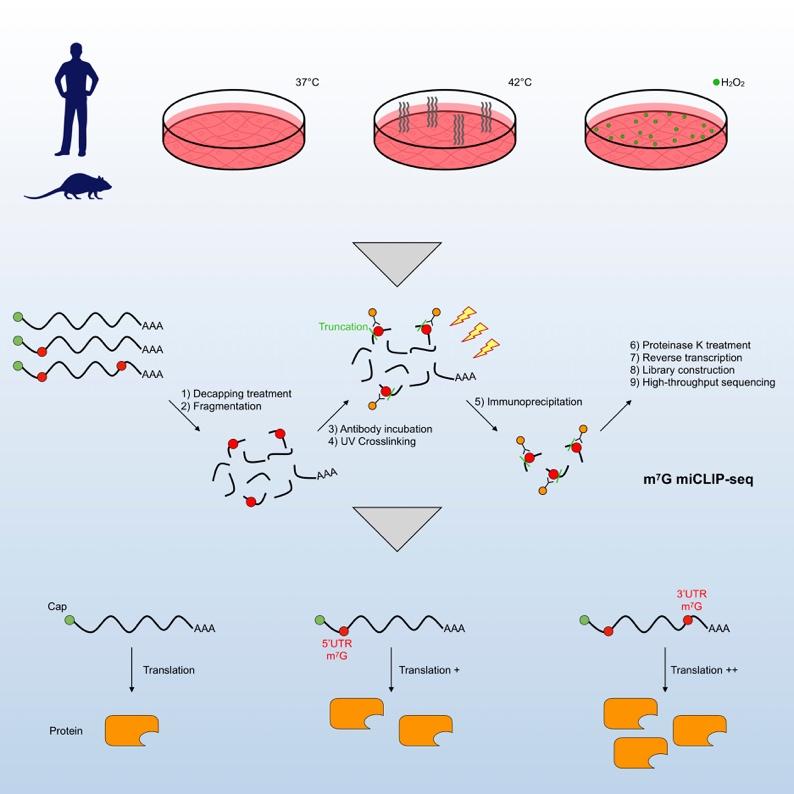 北京基因组所研发RNA甲基化7-甲基鸟嘌呤测序技术