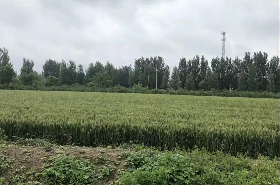 南方小麦减产已成定局?