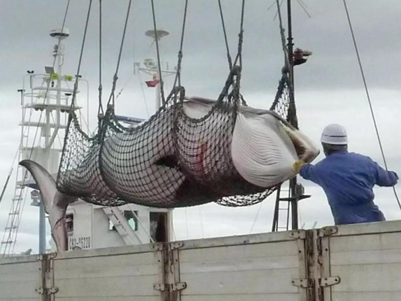 日本捕杀怀孕母鲸
