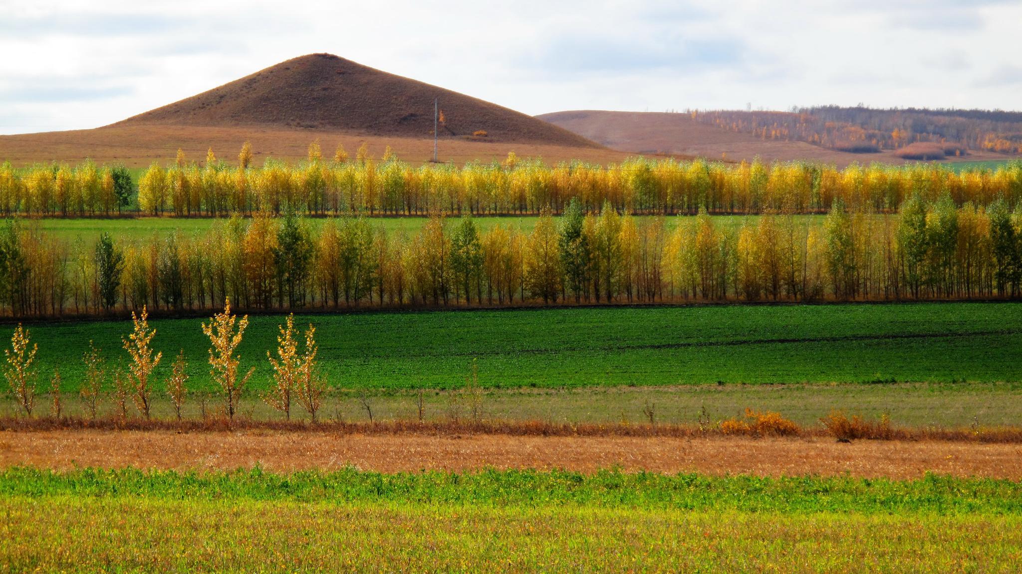图为内蒙古额尔古纳市防护林秋季景色