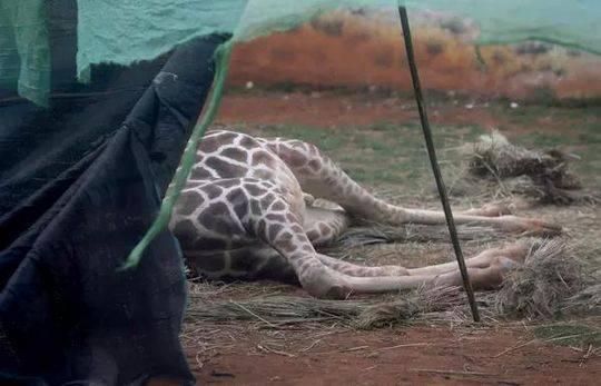 """长颈鹿""""海荣""""不治身亡。"""