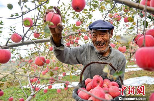 苹果丰收醉染金秋 甘肃静宁香馥满园