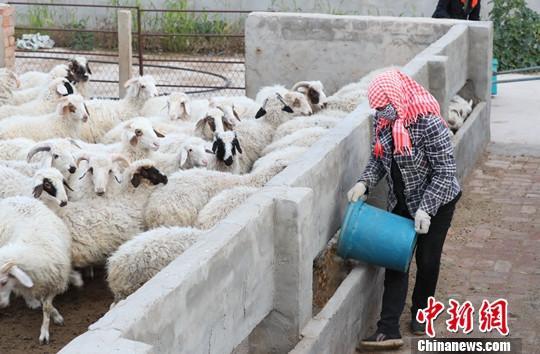 乌鲁木齐海关助力新疆首批进口羊