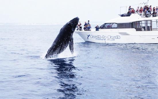 日本恢复商业捕鲸了 但还有人吃鲸肉吗|纽约时报|日本时报