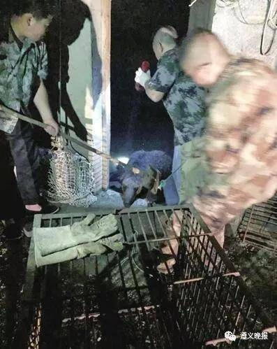 熊被麻醉后运往遵义动物园