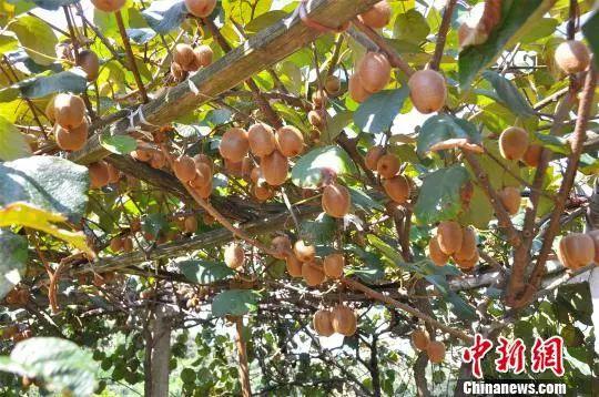 资料图:猕猴桃树 郑沁宜 摄