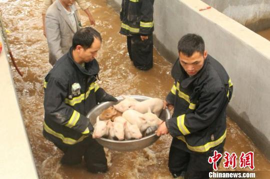 消防官兵把猪从洪水里救出。 王俊虎 摄