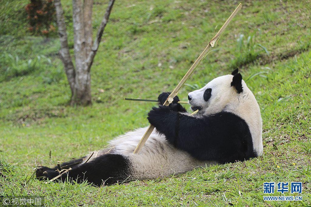 """大熊猫动物园内耍宝惹人爱 印尼掀起""""熊猫热"""""""