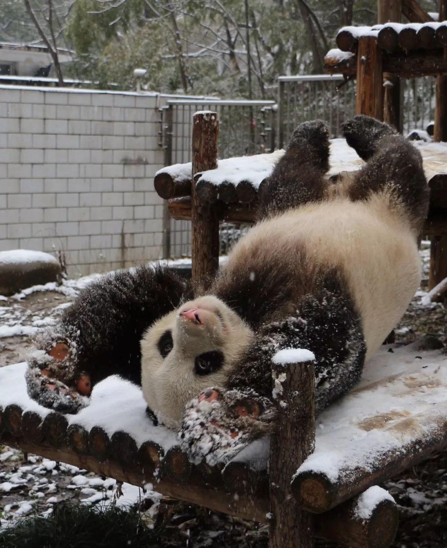 """武汉动物园的国宝大熊猫""""伟伟""""在雪地连续撒欢8个小时,直到天快黑了才"""