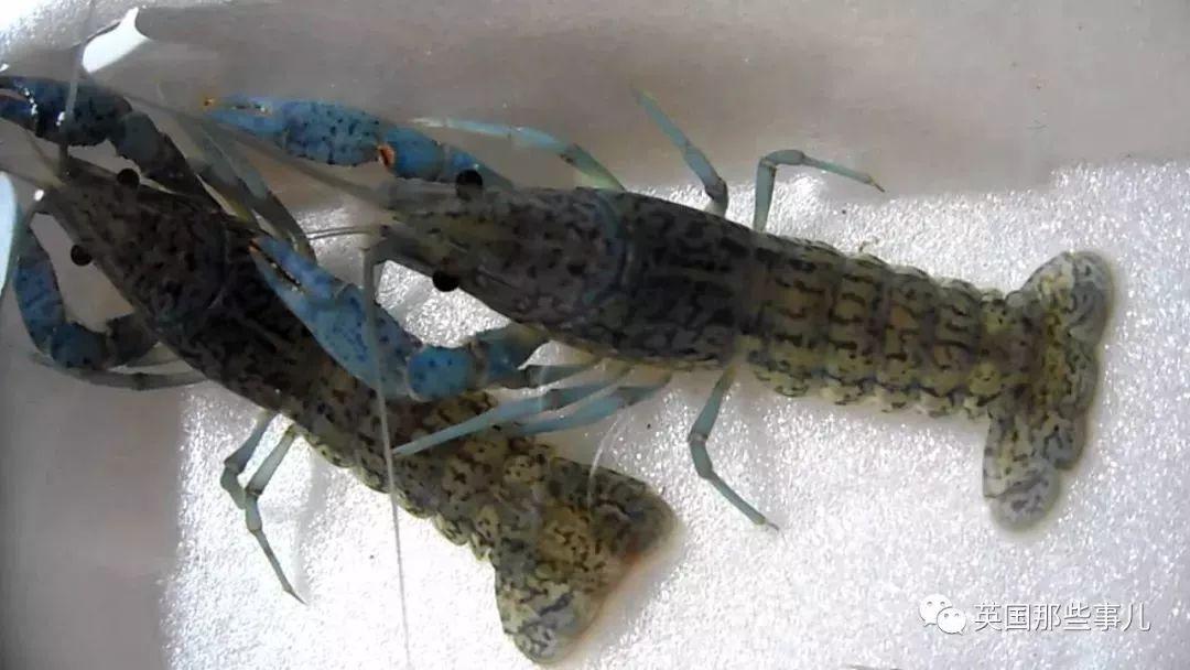 壁纸 动物 两栖 娃娃鱼 鱼 鱼类 蝾螈 鲵 1080_608