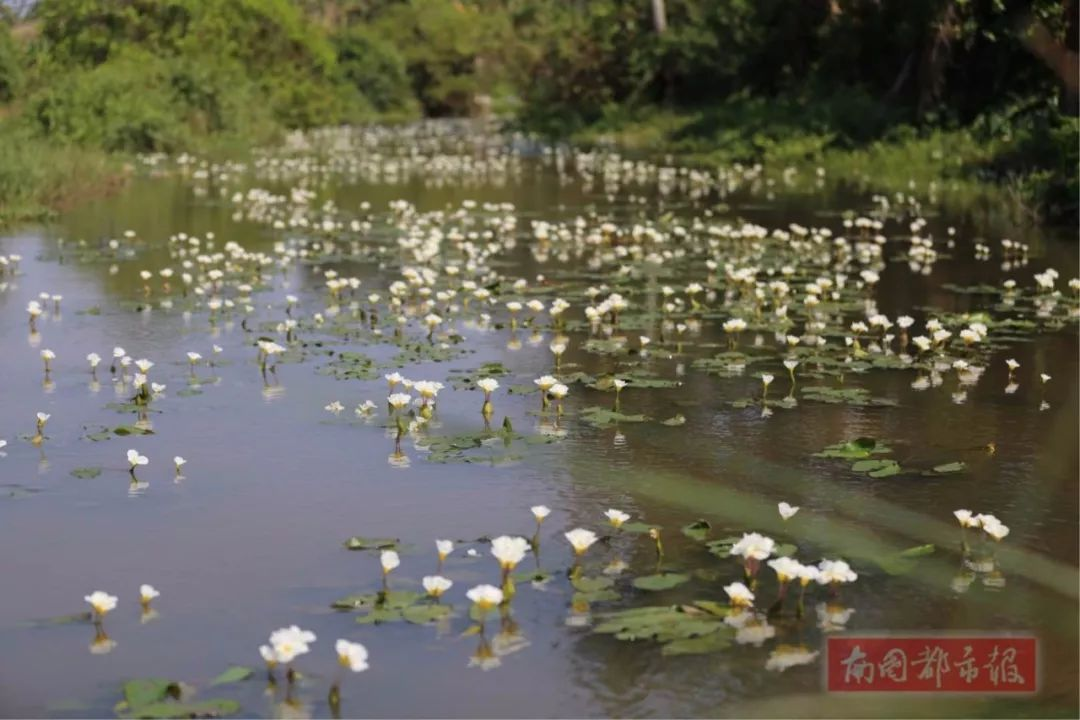 名字很俗却很美,这种野花全国只有海口有,还是国家濒危保护植物